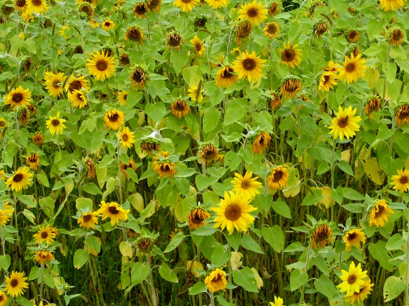 sunflowerfield.jpg